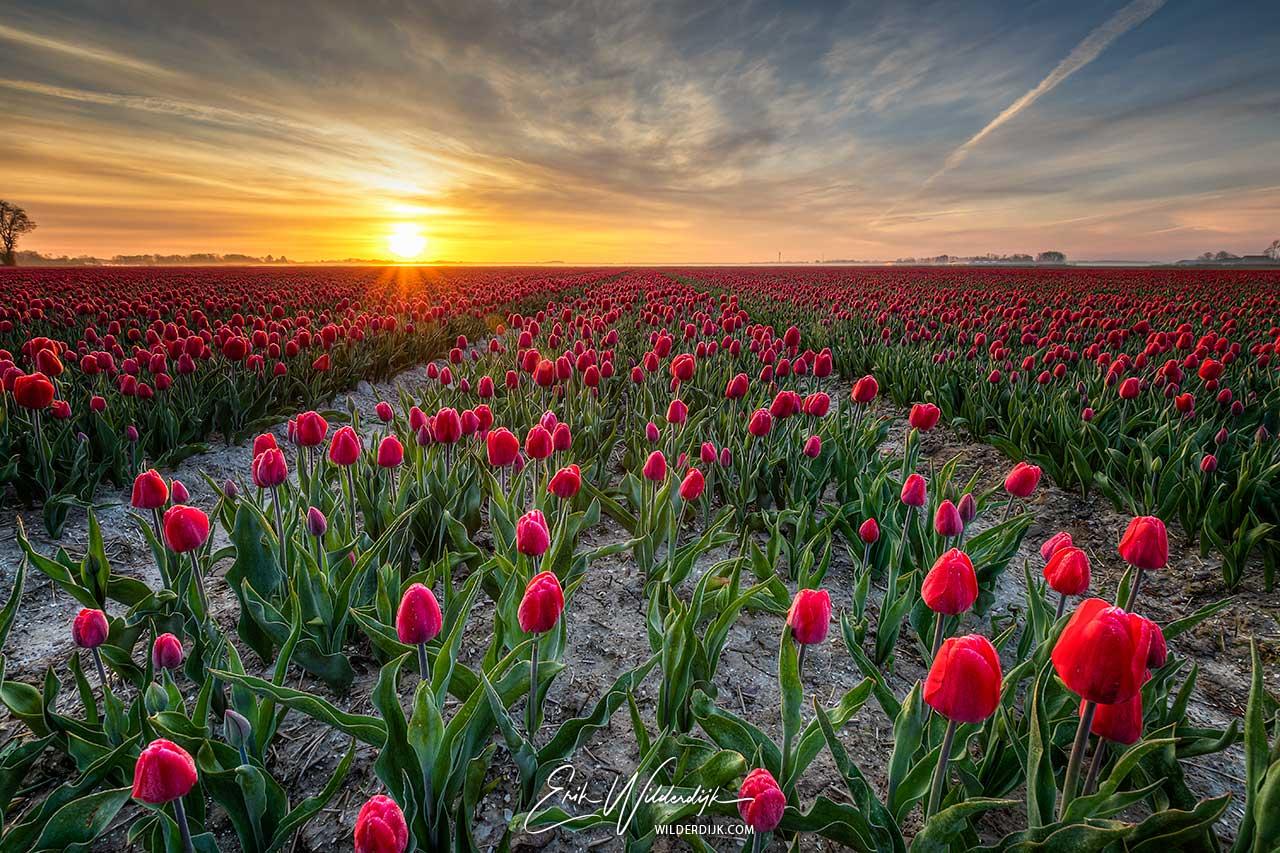 Veld met rode tulpen bij zonsopkomst