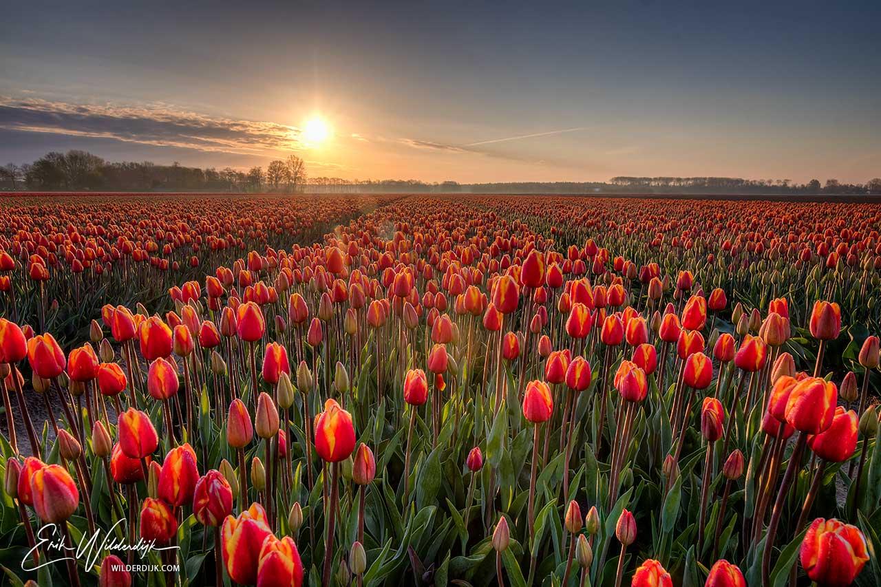 Oranje tulpenveld met tegenlicht van de vroege ochtendzon